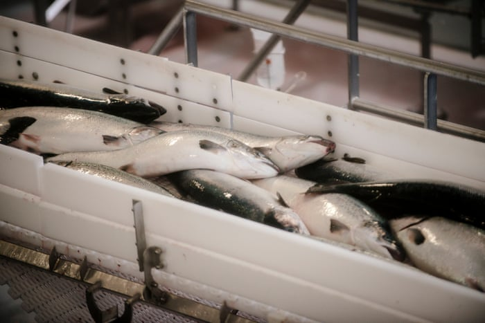Plans to expand Iceland's fish farms risk decimating wild