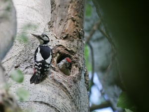 A great spotted woodpecker at Bath City Farm in a beech woodland planted in the 1830s