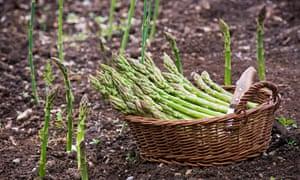 Fresh organic home-grown asparagus