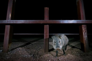 A javelina, also known as a skunk pig, at the border in near Gran Desierto de Altar.
