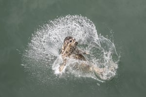 A spotted seal splashes in the water after being released by officials near Dalian, Liaoning province, China