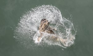 Dalian, China. One of of 37 spotted seal pups rescued from traffickers splashes into the water after being released back into the wild by officials in the north-eastern Liaoning province.