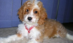 A 12-week-old Cockapoo, which is mix between a cocker spaniel and poodle
