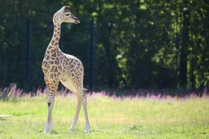 Henry, a newborn Rothschild's giraffe, moves around his enclosure at the Tierpark Berlin zoo