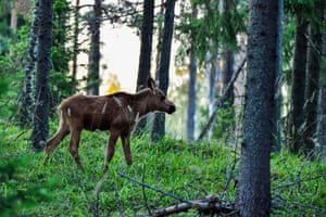 A moose calf wandering in the forest in Porkkala, Finland
