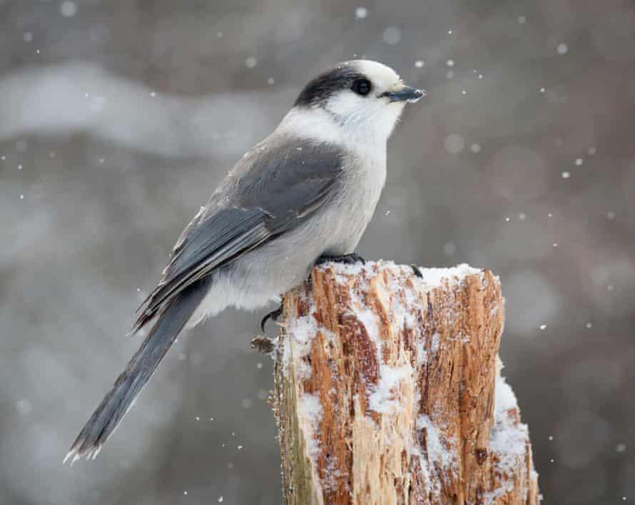 Canada jay, Perisoreus canadensis, in winter.