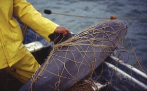 A photo of a presumably dead vaquita caught in a net set for totoaba from February 1992.