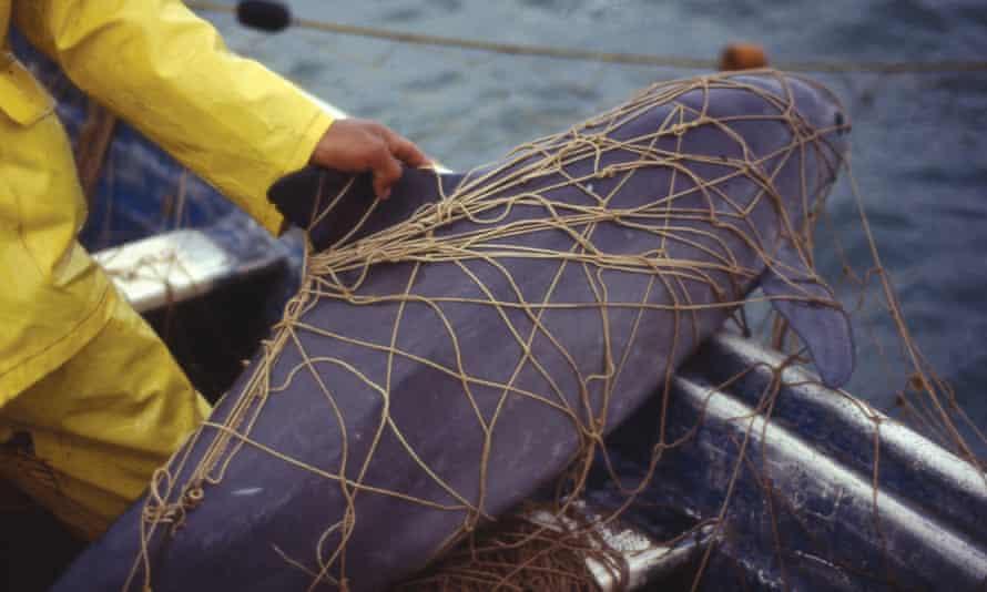 a vaquita caught in a net
