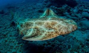Les requins-anges sont parmi les espèces à haut risque d'avorter leurs chiots s'ils sont capturés pendant la grossesse.