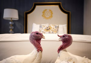 Bread and Butter, the National Thanksgiving Turkey and its alternate, walk in their hotel room at the Willard Hotel.