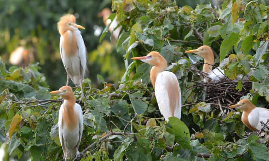 Egrets in India