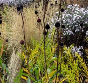 Dark seedheads of Echinacea pallida contrast with grass Stipa lessingiana.