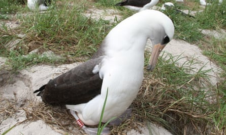 Wisdom, a 68-year-old Laysan albatross, protects her egg.