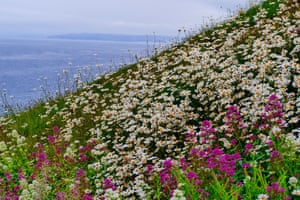 A carpet of ox eye daisies and wild flowers carpet the cliffs at West Bay in Dorset, UK