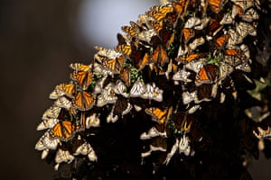 Monarch butterfly population overwintering in Pismo beach, California. North American monarchs travel up to an astonishing 3,000 miles in an annual migration from their summer breeding habitat to overwintering grounds.