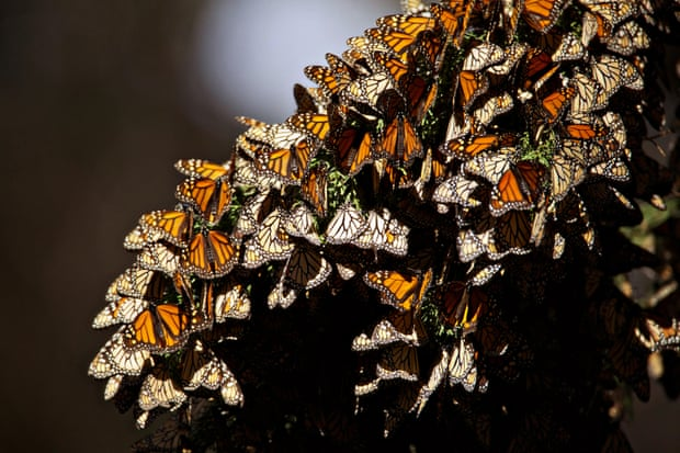 Monarch butterflies overwintering in Pismo Beach in 2016. The population has seen a rapid decline in recent years. Photograph: USFWS Photo/Alamy Stock Photo