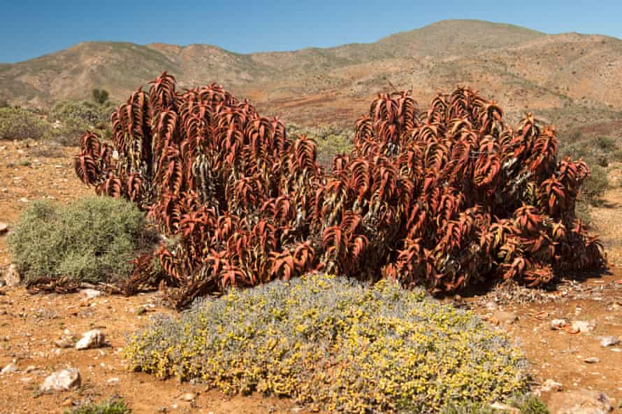 Pearson's aloe (Aloe paersonii) at Helskloof Pass, Richtersveld National Park, South Africa CF78GC Pearson's aloe (Aloe paersonii) at Helskloof Pass, Richtersveld National Park, South Africa