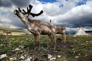 Reindeer cannot handle heat well, so they must be pastured in high plains in the summer