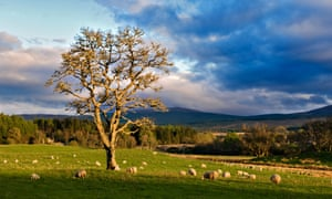 Sunlit tree in field of sheep