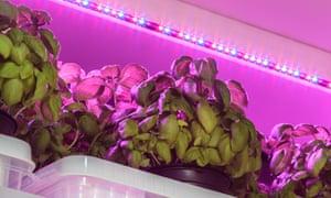 Indoor herbs: basil growing under LED lighting.