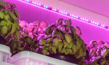 Indoor herbs: basil growing under LED lighting.