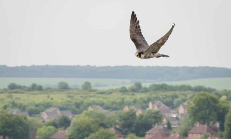 Flyinbg over the spire: one of the peregrines that has made itself at home in Salisbury Cathedral.