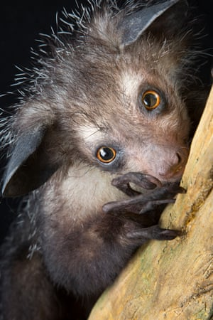 The aye-aye from Madagascar – endangeredThe aye-aye hunts for insect larvae at night in rotting wood. It has several adaptations for finding prey: it taps its fingers up to ten times per second on a tree; listens for grubs with its huge flexible ears; uses its large rodent-like teeth to gnaw a hole in the tree and, finally, uses its slender middle finger with its curved claw to reach in and fish out the grub.