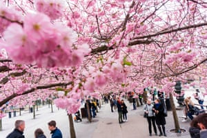 People gather under cherry trees in full blossom at Kungstradgarden in central Stockholm