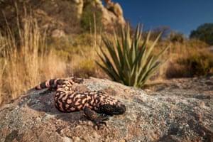 Reticulate Gila Monster, Arizona, US