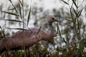 A young gray crane at the Agamon Hula lake in the Hula valley in northern Israel