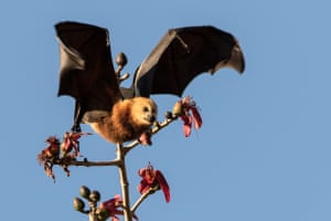 The Mauritian government claims the fruit bats are seriously damaging fruit crops, a claim that conservationists say is overblown.