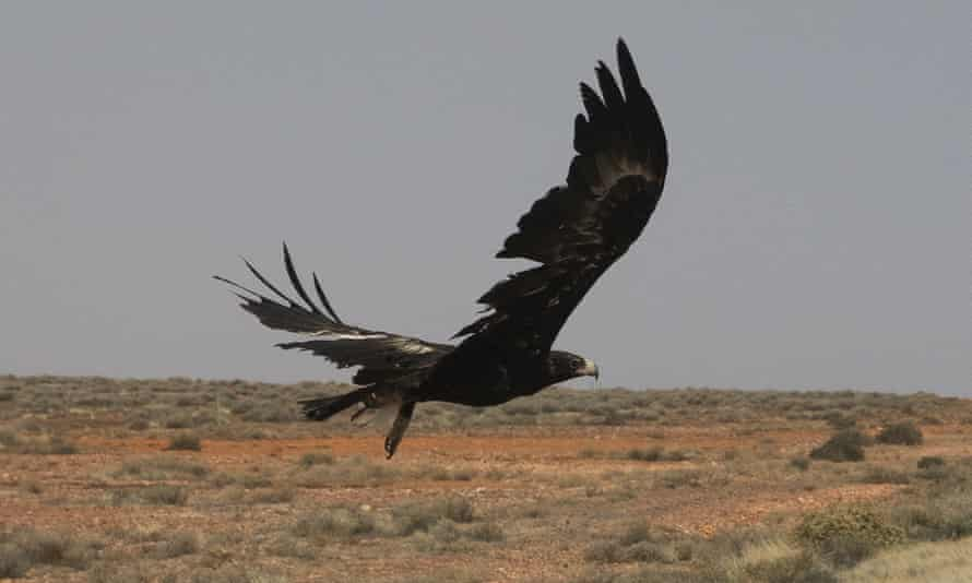 A wedge-tailed eagle on The Stewart Highway in South Australia. About 120 native birds, including 76 wedge-tailed eagles, were found dead during raids on a property in Victoria.