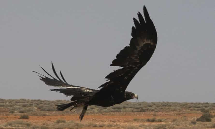 A wedge-tailed eagle in mid-flight