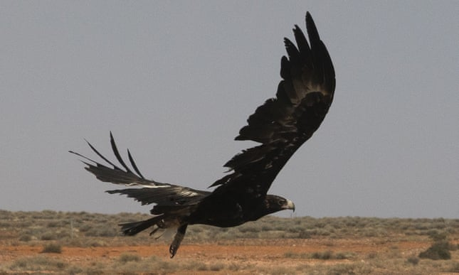 Calls for man who killed 420 wedge-tailed eagles to face charges under wildlife act