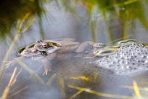 Frogs in amplexus beside some frogspawn in the spring sunshine, Hailsham, East Sussex, UK