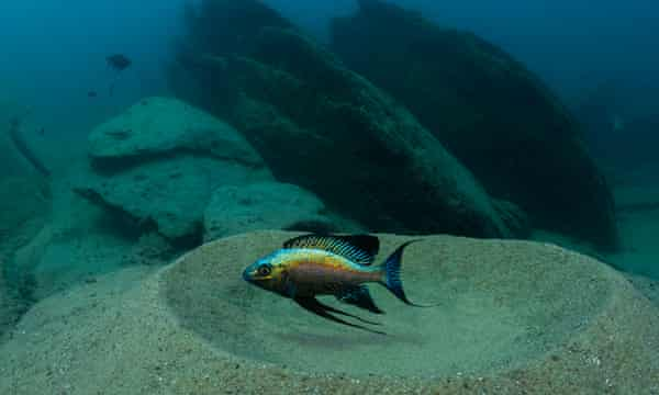 large cichlid builds a sand bower