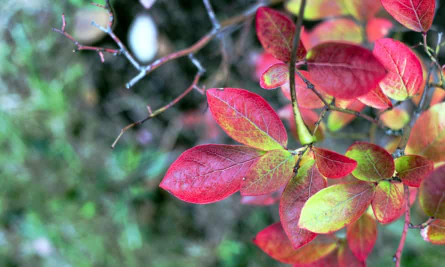 Pick of the crop: highbush blueberry leaves turning red in autumn.
