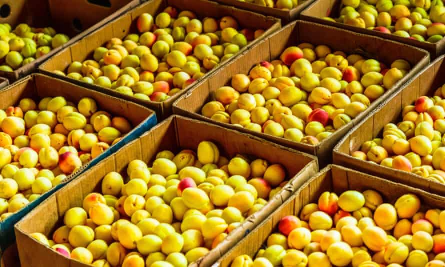 Boxes filled with apricots