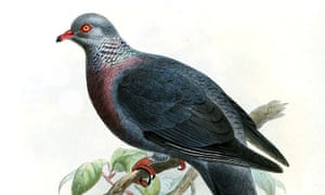 Illustration of the Trocaz pigeon from the 19th Century.
