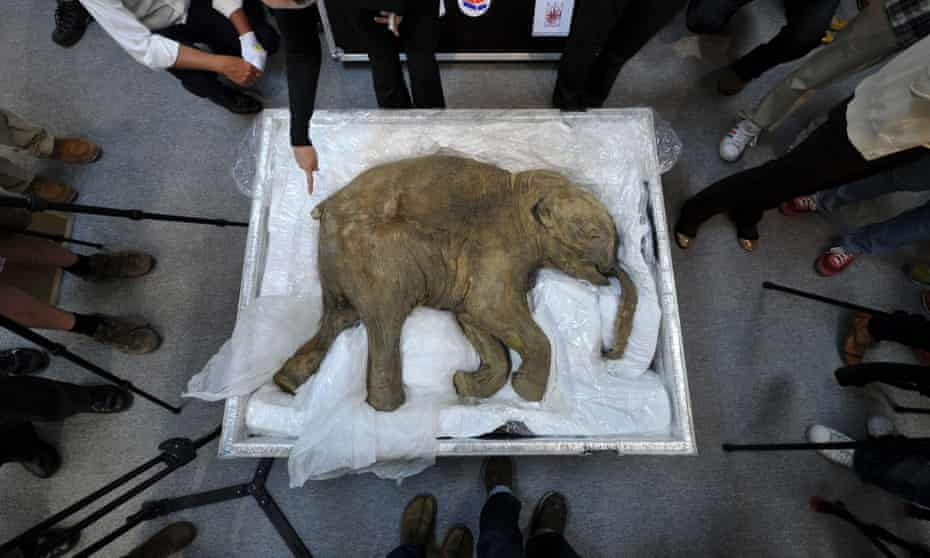 The remains of a well-preserved baby mammoth, named Lyuba, displayed in Hong Kong in 2012