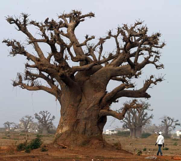 baobab trees near Rufisque, Senegal.
