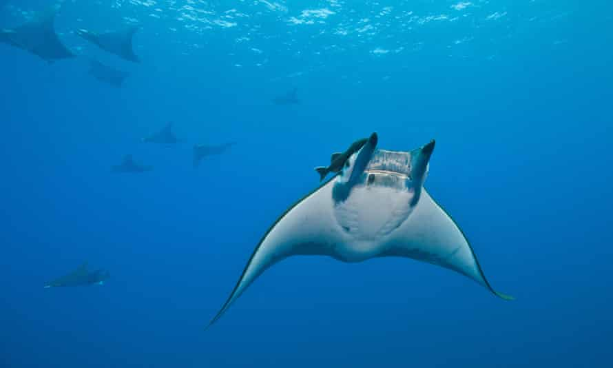 Devil rays swim slowly in groups, and are very easy to catch. Their gill plates have become popular as a supposed medicine in China.
