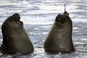 Two elephant seals, one with a satellite tracking device on its head in Tasmania, Australia