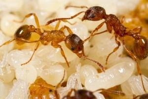 Worker red ants (<em>Myrmica rubra</em>) tending pupae in nest, Powys, Wales.