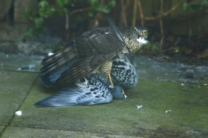A sparrow hawk attempting to kill a pigeon. The pigeon survived.