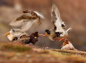 Young wildlife photographers: 11–14 years old winner: <em> Ruffs on display</em> by Ondrej Pelánek (Czech Republic).<br>'On their traditional lek ground – an area of tundra on Norway's Varanger Peninsula – territorial male ruffs in full breeding plumage show off their ruffs to each other, proclaiming ownership of their courtship areas.