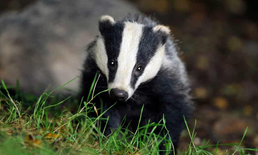 More than 35,000 badgers were killed last year, official figures show.