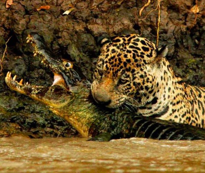 Give endangered jaguars legal rights, Argentina campaigners