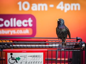 Urban wildlife winner: Geoff Trevarthen. 'The Supermarket Starling', Cornwall, England.