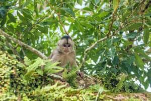 A capuchin monkey in Misahualli, Amazon Napo province, Ecuador